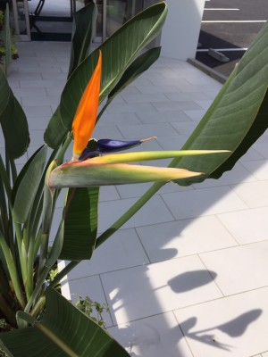 ストレリチア 極楽鳥花