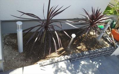 コルジリネ植栽作業003