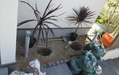 コルジリネ植栽作業002